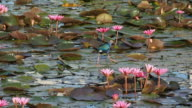 Lotuses in the lake and bird