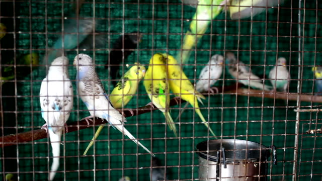 Love Birds inside the Cage