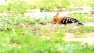 Lovely Common Hoopoe