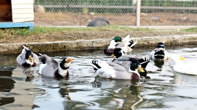Lovely Ducks Swimming
