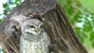Lovely owl hidden on tree