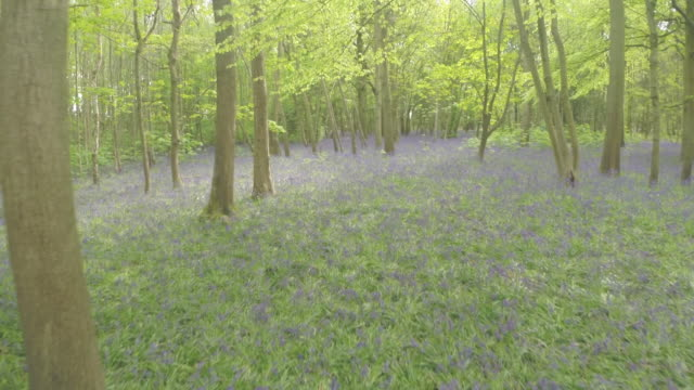 Low aerial track through bluebell wood