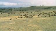 Low altitude tracking shot of a large herd of Bison moving over rolling grassland near Bozeman, MT