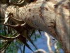 MS Low angle, Acacia Ants (Pseudomyrmex) moving up trunk of Acacia Tree, Costa Rica