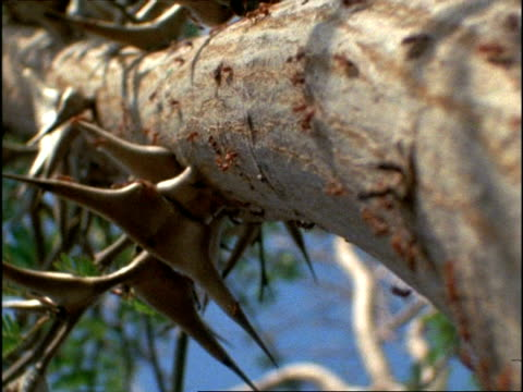 MS Low angle, Acacia Ants (Pseudomyrmex) moving up trunk of Acacia Tree, Costa Rica