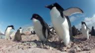Low angle adelie penguins (Pygoscelis adeliae) at colony, Antarctica