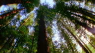 Low angle dolly shot tall redwood trees in forest / California