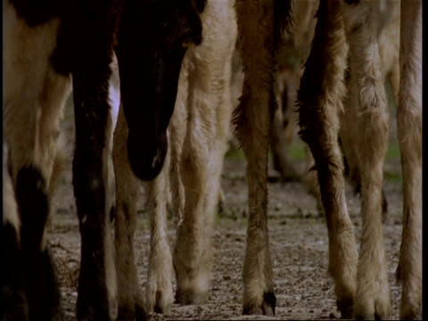CU low angle, feet and heads of sheep, walking past camera, Gujarat, India