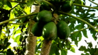 Low angle green coconuts on farm, KwaZulu Natal, South Africa