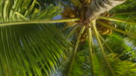 Low angle, looking up at palm tree with fruit