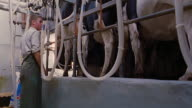 low angle man attaching cows to milking machine / England