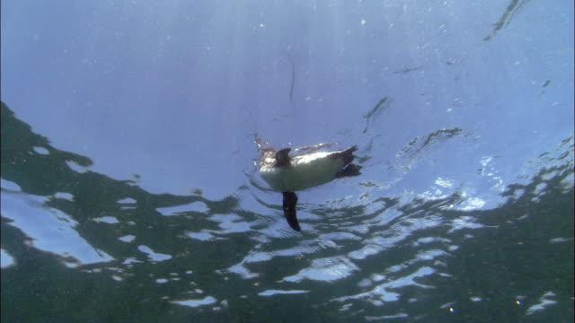 Low angle medium shot Galapagos penguin swimming along surface of water and diving / Galapagos Islands, Costa Rica