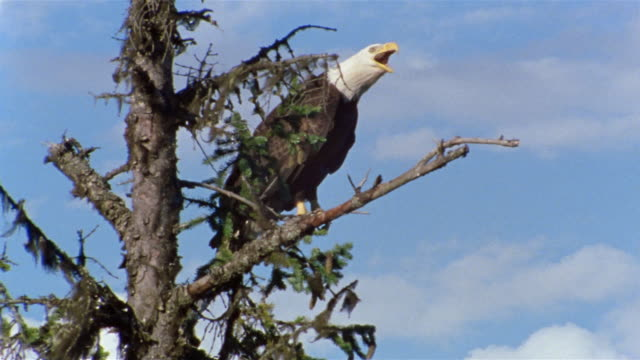 Low angle medium shot tilt up bald eagle perched on tree branch / Alaska
