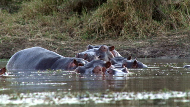Low angle of hippos gaping and showing teeth/ Kruger National Park/ South Africa
