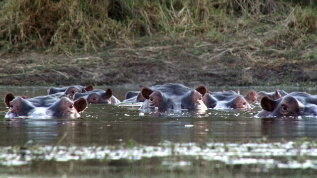 Low angle of raft of hippos blowing air and observing the environment/ Kruger National Park/ South Africa