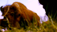 Low angle of two buffalo eating grass, close up, hand held