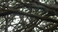 Low angle pan shot of yew tree branches