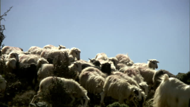Low Angle pan-right - A shepherd tosses a rock near a herd of sheep in Greece. / Greece
