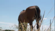 Low Angle rack-focus - A brown horse stands against a blue sky with its back to the camera, flicking its tail. / USA