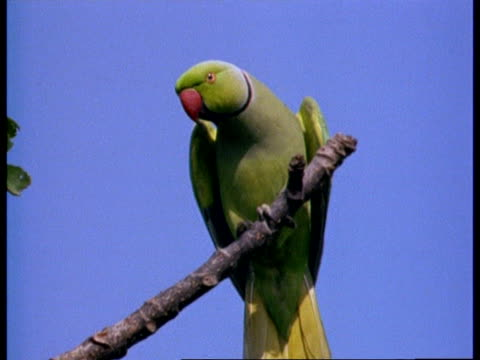 MCU Low angle Rose-ringed parakeet on branch, India