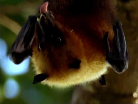 CU Low angle, Seychelles Fruit Bat (Pteropus seychellensis) hanging upsidedown, licking lips, Seychelles