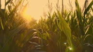 Low angle shot in the field of corn at dusk