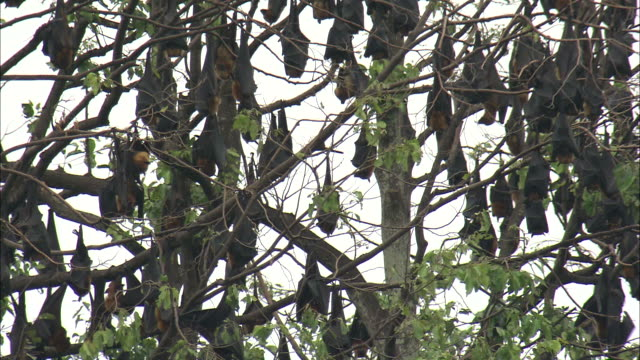 Low Angle static - A colony of flying foxes hangs upside down in treetops. / Cambodia