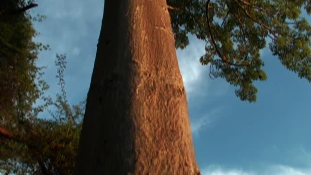 Low Angle tilt-up - A giant tree towers beneath a blue sky. / Kenya