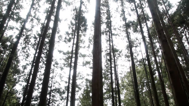 Low angle view of trees at a forest of Mount Kongō