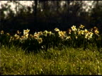 Low angle view of yellow daffodils in field