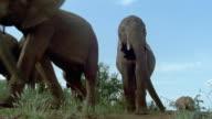 Low angle wide shot elephants walking past CAM / close up elephant walking up to CAM / Tsavo East National Park / Kenya