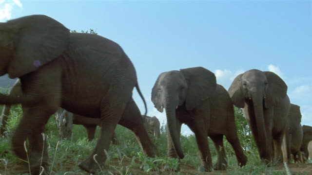 Low angle wide shot elephants walking past CAM / Tsavo East National Park / Kenya