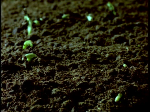 CU low angleT/L broad beans germinate from beneath soil, seedlings growss, soil background