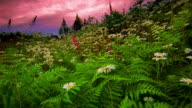 Low point of view over daisies + dark pink foxglove flowers in meadow / pine trees + pink sky in background / Oregon