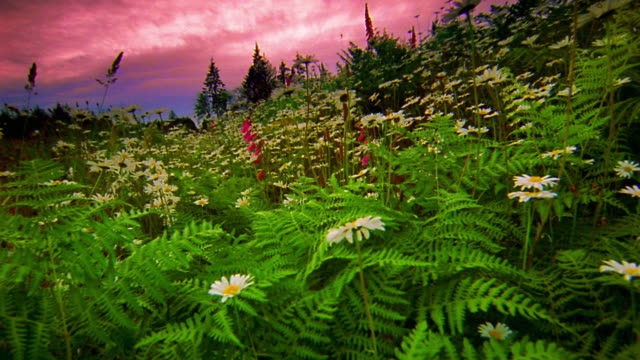 Low point of view over daisies dark pink foxglove flowers in meadow us stateoutdoorspacific northwestpinaceaepine treepink colorplantpoint of viewreal timetoned imagetreeusauncultivatedwalking point of view mightylinksfo