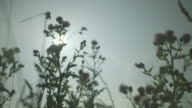Low-angle view of silhouetted thistles waving in a gentle breeze, UK.