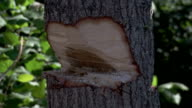 A lumberjack chops a slender tree with an axe. Available in HD.