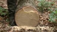 MS Lumberjacks marking on timber in forest / Zerf, Rhineland Palatinate, Germany