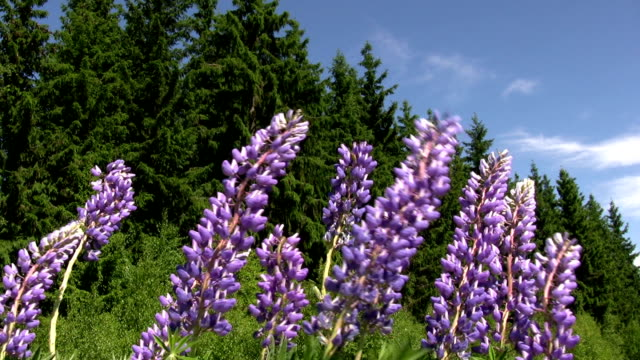 Lupins swaying in wind, Sweden