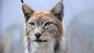 Lynx nella nebbia