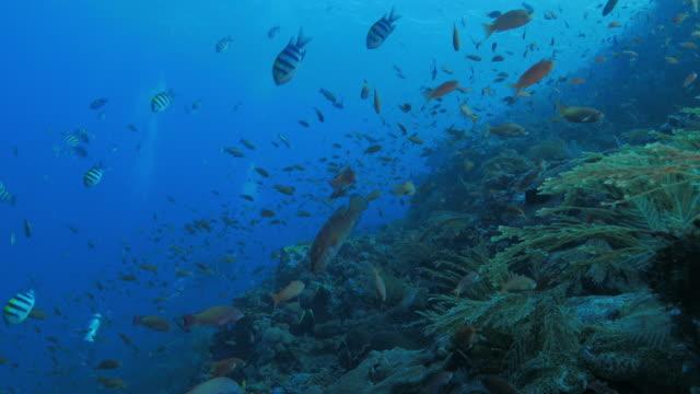 Lyre-tail Anthias vis school in coral reef, Komodo (4K)