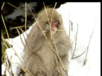Macaque monkey chewing stalk and sitting on branch in snow Monkey leans to left then falls off branch very funny Nagano
