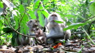 Macaque Monkey (Macaca fascicularis) Family Grooming