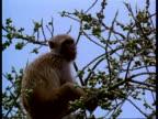 MCU Macaque Monkey (Macaca) in tree feeding, India