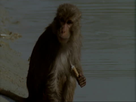 MCU Macaque Monkey sitting on riverbank eating, India