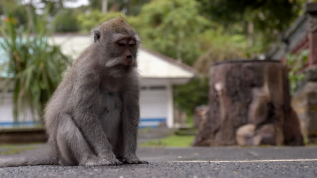 LS Macaque Monkey