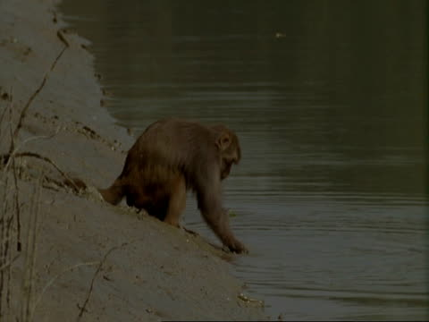 MS Macaque Monkey washes food in mangrove swamp before eating it, India