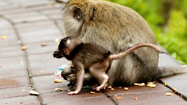Macaque Monkey with son eating peanuts slow motion