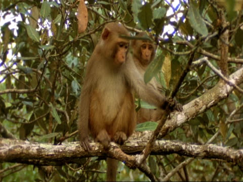 MS 2 Macaque Monkeys in tree, 1 looking around, India