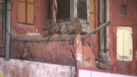 Macaque monkeys play around a building in India. Available in HD
